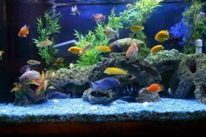 рибки цихліди