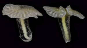 Dendrogrammatidae