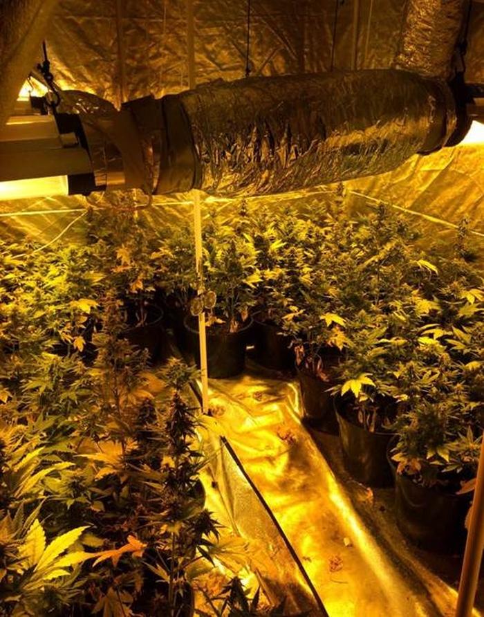 вирощування марихуани