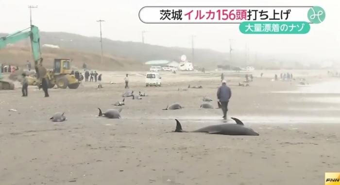 дельфіни викинулись на берег японія
