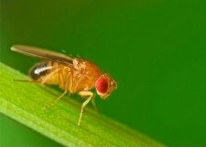 мухи-дрозофіли