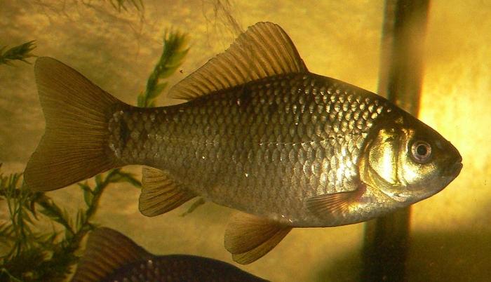 прісноводна риба