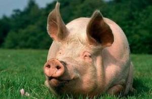 свиня