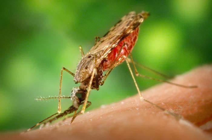малярійний комар