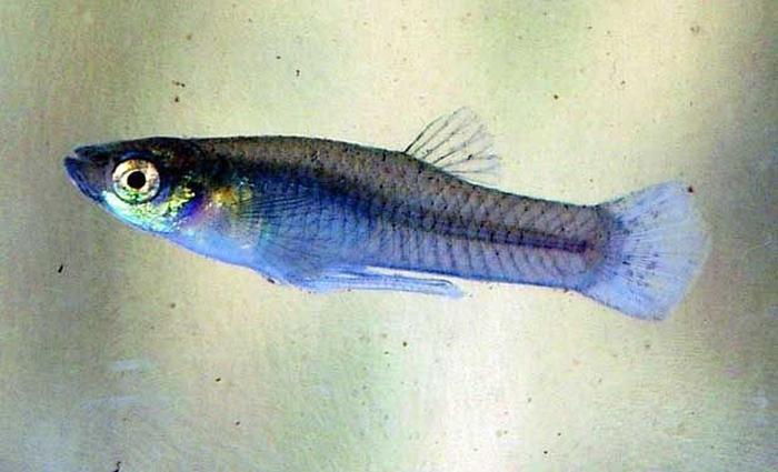 рибячий токсин Afp18