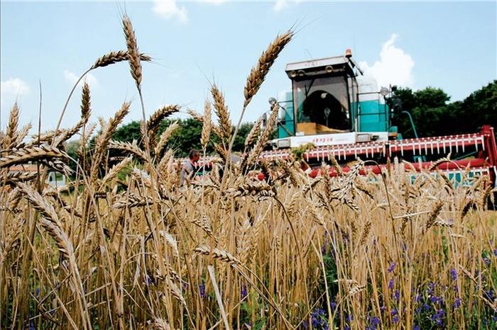 збір зернових