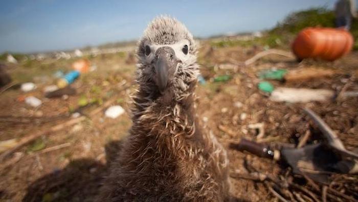 морські птахи пластик