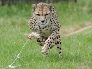 гепард сара