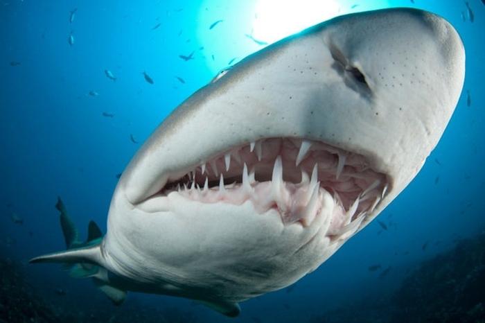 зуби акули