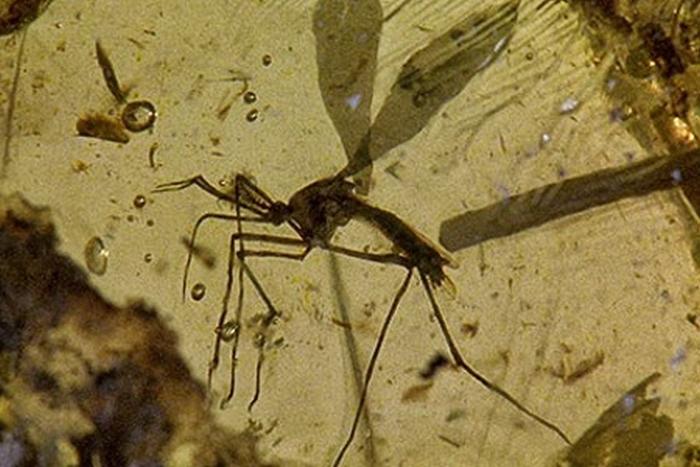 малярійний комар древній