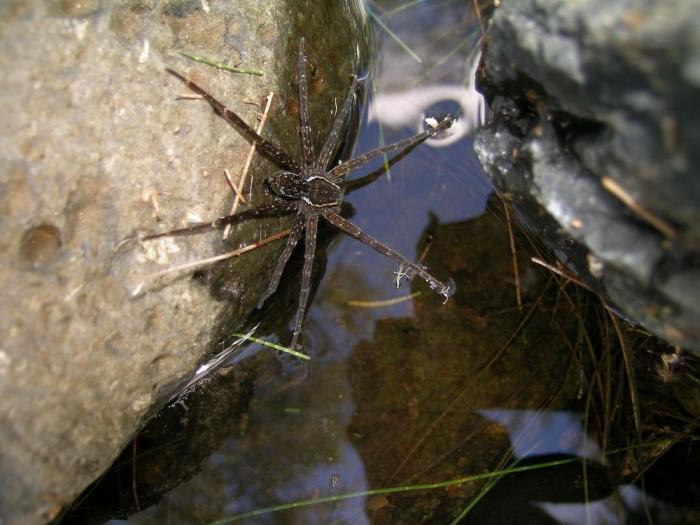 Dolomedes briangreenei павуки