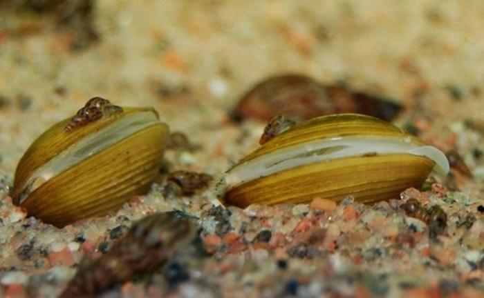 молюск двохстулковий