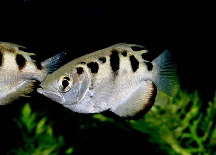 Риба-бризкун
