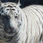 бенгальський тигр