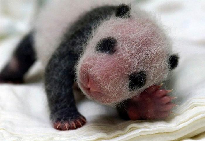 дитинча панди