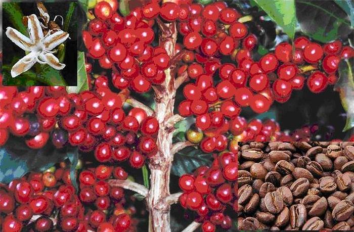 рослина кава