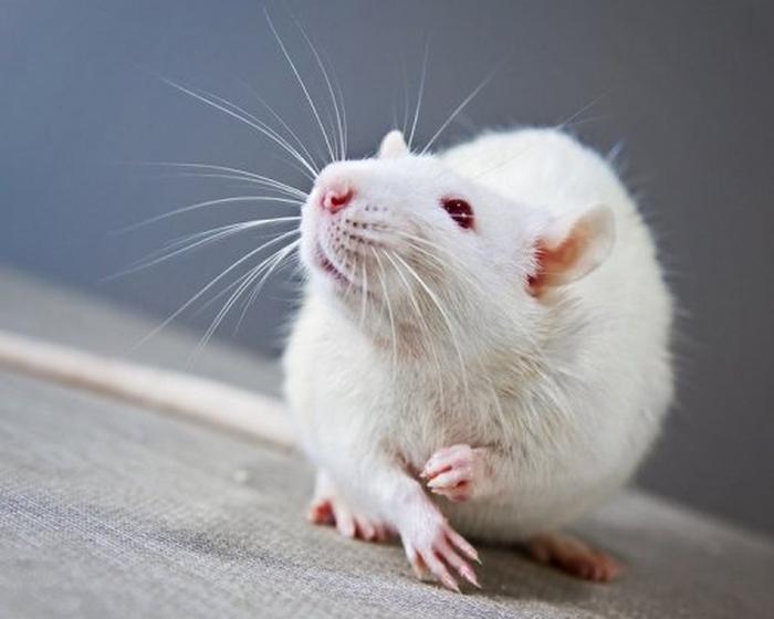 миші нюх