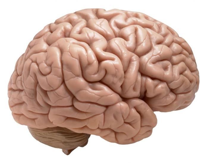 Вчені виростили людський мозок зі шкіри