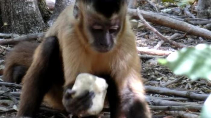 мавпа капуцин