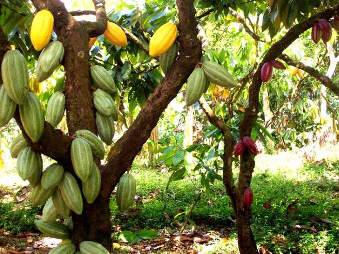 какао-дерева