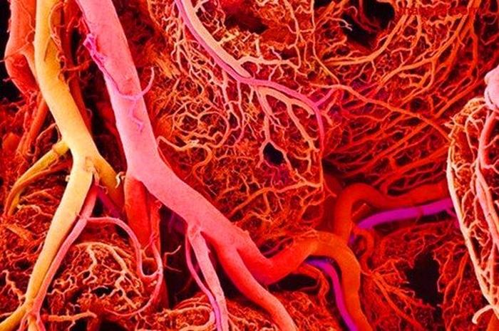 судини кровоносні
