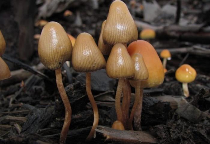 псилоцибінові гриби