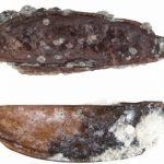 Antarctotrechus balli