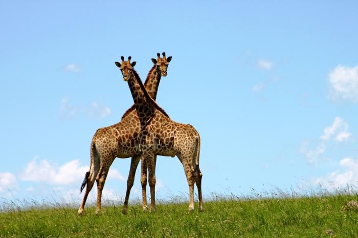 Жирафи
