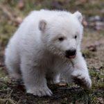 полярний ведмедик