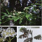 Sorbus cibagouensis