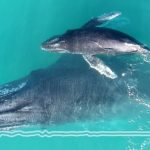 горбаті кити