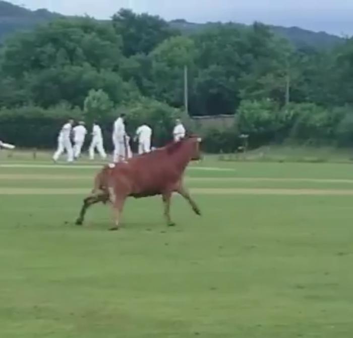 бик вибіг на поле з крикету