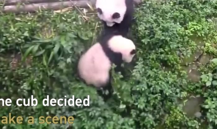 панда скинула дитинча