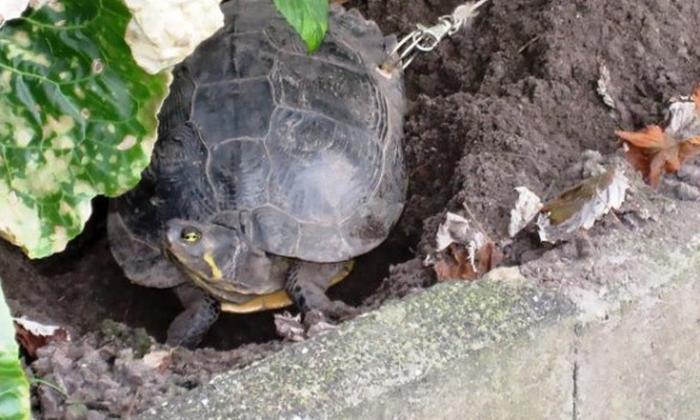 прикували черепаху до дерева