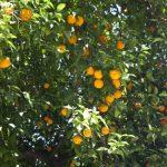 плантація апельсинів