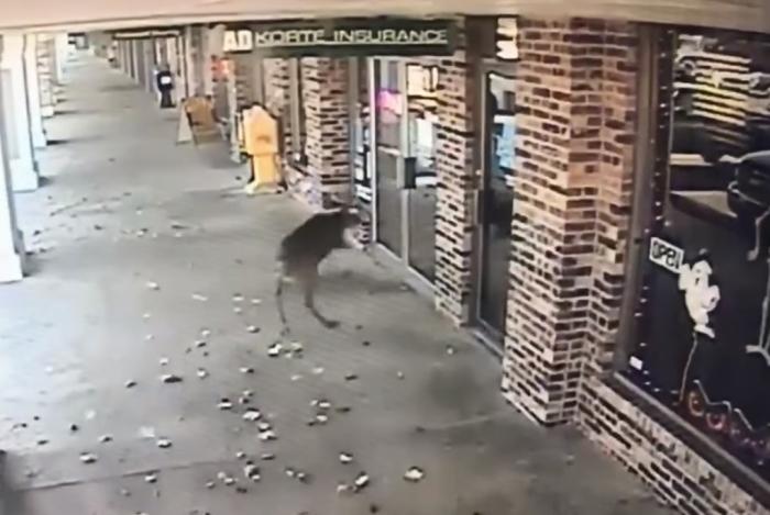 олень пробив скляні двері