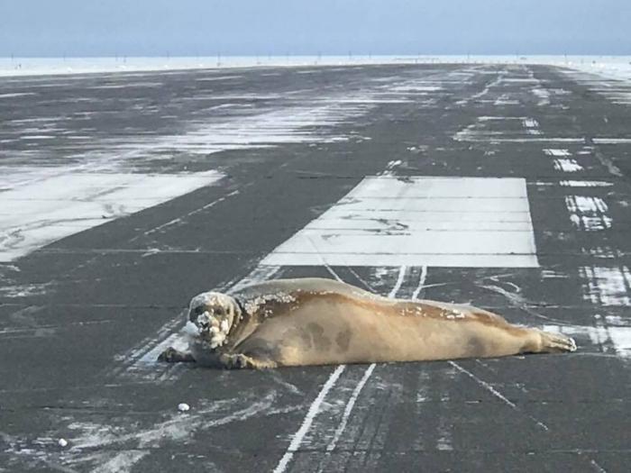 тюлень перекрив злітно-посадкову смугу