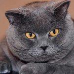 кіт ожиріння