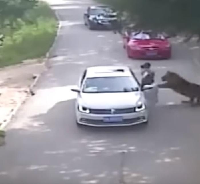 тигр розірвав жінку