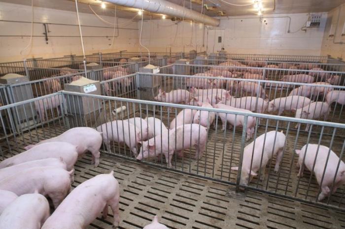 свинина ферма