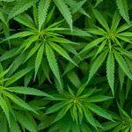марихуана греція
