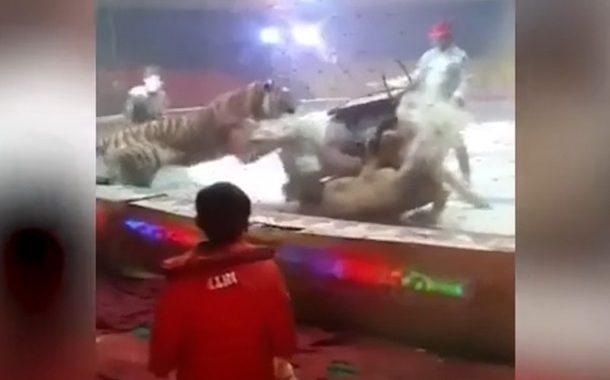 в цирку тигр і лев напали на коня