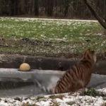 тигриця провалилася під лід