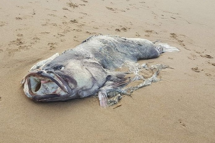 риба монстр