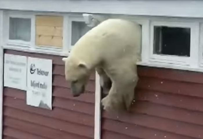 Упс... Ведмідь пограбував склад і застряг у вікні (відео)