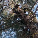 пума залізла на високе дерево