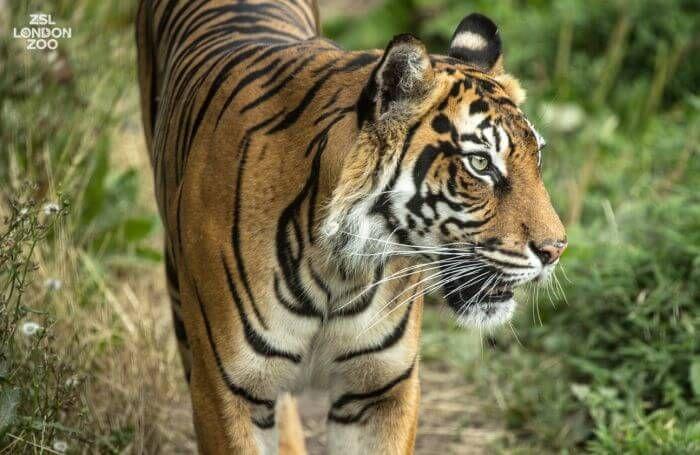 cуматранський тигр