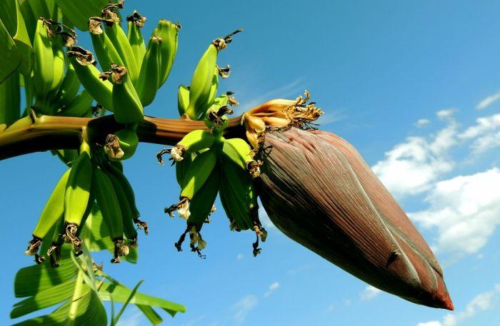 банани на пальмі